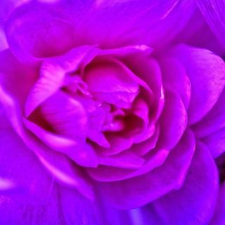 Purple Flower of Book - Obrázkek zdarma pro iPad mini