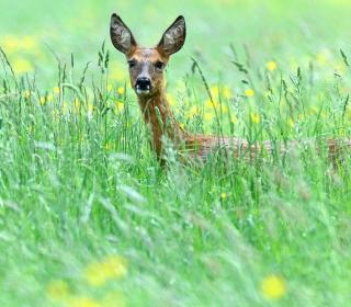 Deer In Green Grass - Obrázkek zdarma pro 128x128