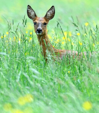 Deer In Green Grass - Obrázkek zdarma pro Nokia Asha 300