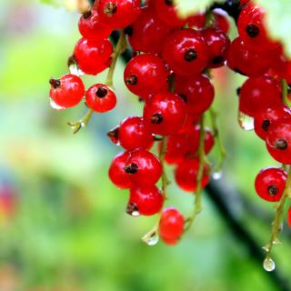 Red currant with Dew - Obrázkek zdarma pro 128x128