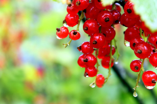 Red currant with Dew Picture for Android, iPhone and iPad