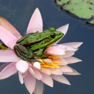 Frog On Pink Water Lily - Obrázkek zdarma pro 1024x1024