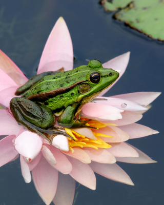 Frog On Pink Water Lily - Obrázkek zdarma pro iPhone 3G