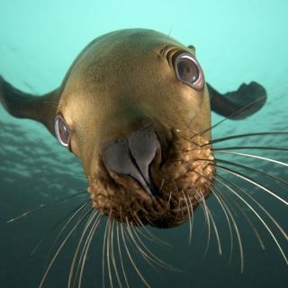 Seal Close Up - Obrázkek zdarma pro 2048x2048