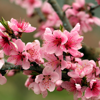 Spring apple tree blossoms - Obrázkek zdarma pro iPad mini 2