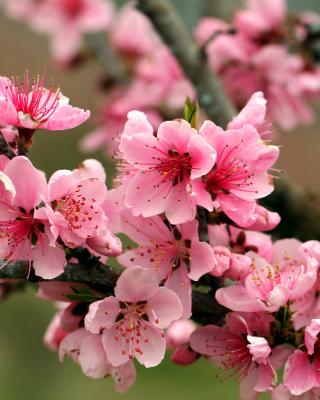 Spring apple tree blossoms - Obrázkek zdarma pro Nokia Lumia 920T
