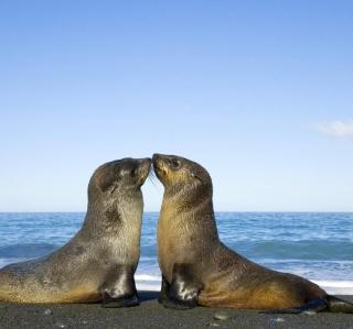 Antarctic Fur Seal - Obrázkek zdarma pro 2048x2048