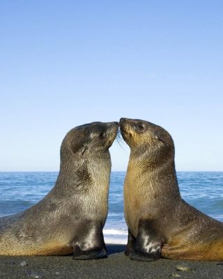 Antarctic Fur Seal - Obrázkek zdarma pro Nokia C2-03