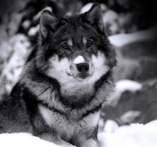 Wolf In Winter - Obrázkek zdarma pro iPad