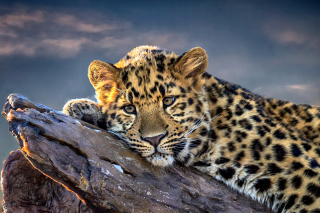 Free Sad Leopard Picture for Android, iPhone and iPad