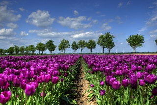 Free Purple Tulip Field In Holland Picture for Android, iPhone and iPad