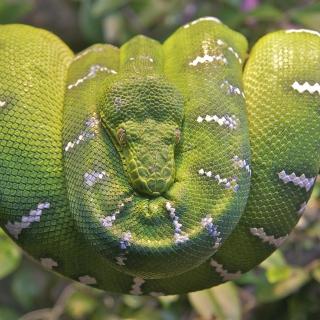 Emerald Green Tree Snake - Obrázkek zdarma pro iPad
