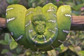 Emerald Green Tree Snake - Obrázkek zdarma pro 480x400