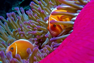 Orange Clownfish - In Florida Wallpaper for Android, iPhone and iPad