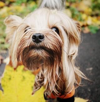 Yorkshire Terrier - Obrázkek zdarma pro 208x208