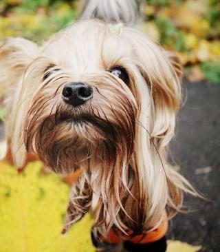 Yorkshire Terrier - Obrázkek zdarma pro iPhone 4S