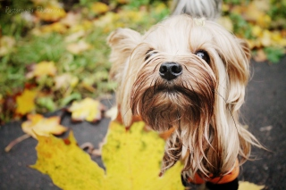 Yorkshire Terrier - Obrázkek zdarma pro Samsung Galaxy S5