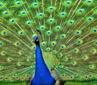 Peacock Tail Feathers - Obrázkek zdarma pro iPad mini