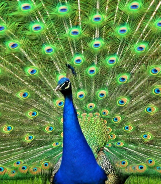 Peacock Tail Feathers - Obrázkek zdarma pro Nokia Asha 311