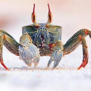 Ghost crab - Obrázkek zdarma pro iPad