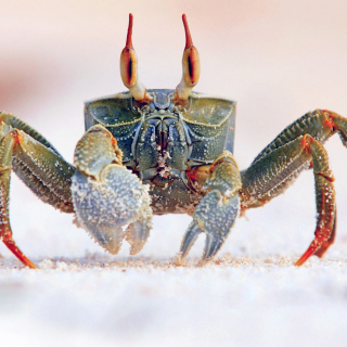Ghost crab - Obrázkek zdarma pro iPad mini