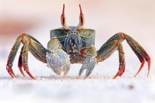 Ghost crab - Obrázkek zdarma pro 480x320