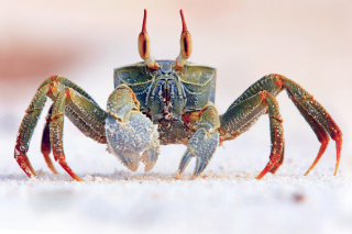 Ghost crab - Obrázkek zdarma pro Samsung Galaxy S3