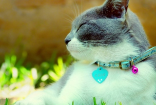Cat With Collar Background for Android, iPhone and iPad