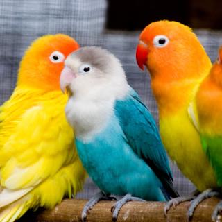 Colorful Parrots - Obrázkek zdarma pro 208x208