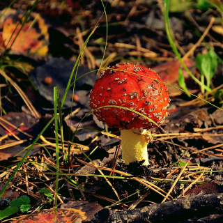 Red Mushroom - Obrázkek zdarma pro 320x320