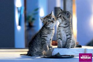 Whiskas Kittens - Obrázkek zdarma pro Fullscreen Desktop 1400x1050