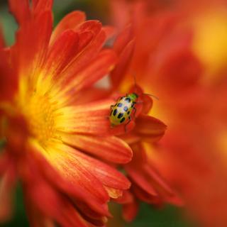 Red Flowers and Ladybug - Obrázkek zdarma pro 128x128
