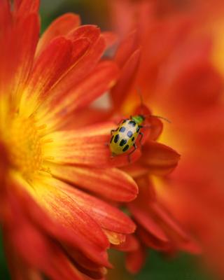 Red Flowers and Ladybug - Obrázkek zdarma pro 480x800