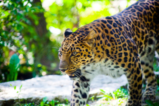 Free Wild Leopard Picture for Android, iPhone and iPad