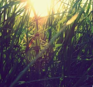 Grass Under Sun - Obrázkek zdarma pro 208x208