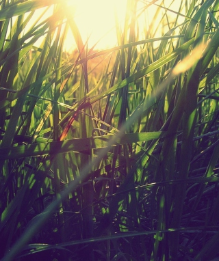 Grass Under Sun - Obrázkek zdarma pro 132x176