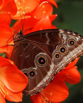 Butterfly - Obrázkek zdarma pro Nokia C3-01