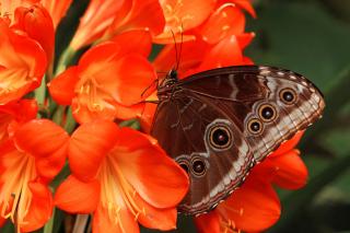 Butterfly - Obrázkek zdarma pro Sony Tablet S