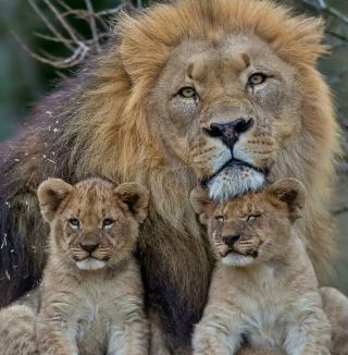 Lion Family - Obrázkek zdarma pro iPad Air