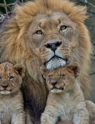 Lion Family - Obrázkek zdarma pro Nokia Asha 308