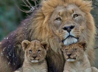 Lion Family Background for Android, iPhone and iPad