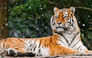 Siberian Tigress Picture for Android, iPhone and iPad