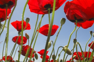 Red Poppy Field Background for Android, iPhone and iPad