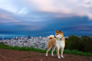 Free Akita Inu Japanese Dog Picture for Android, iPhone and iPad