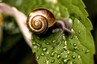 Snail On Leaf Picture for Android, iPhone and iPad