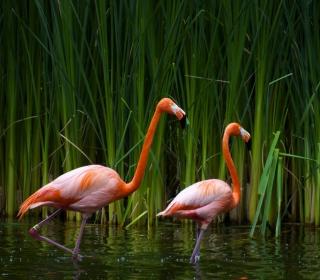 Two Flamingos - Obrázkek zdarma pro 128x128
