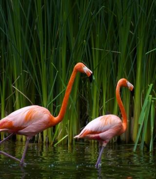 Two Flamingos - Obrázkek zdarma pro iPhone 5