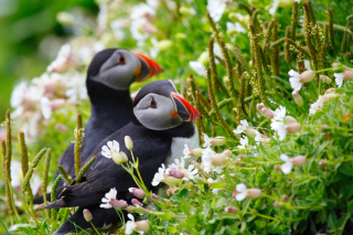 Free Puffin Birds on Caroline Islands Picture for Android, iPhone and iPad