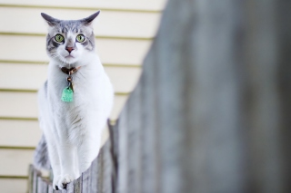 Free Green-Eyed Cat On Fence Picture for Android, iPhone and iPad