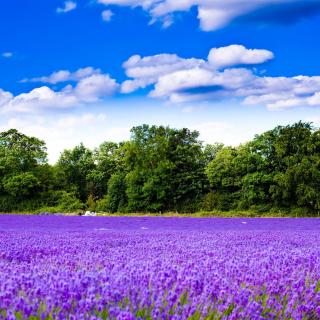 Purple lavender field - Obrázkek zdarma pro iPad